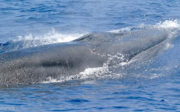 U.S. researchers have determined that a critically endangered whale in the Gulf of Mexico is actually a previously unrecognized species. (NOAA Fisheries)